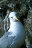 A Kittiwake is puzzled by the camera