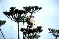 Blackcap feeds on wild angelica