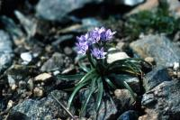 Spring Squill growing between some stones