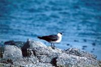 An Arctic Skua rests on a rock