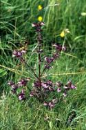 Marsh Lousewort grows in a grassy area.
