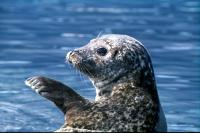 A young seal waves goodbye.