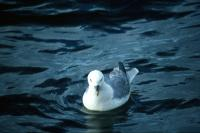 A lone Fulmar swimming on the sea