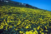 A field of Marsh Marigolds