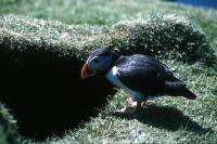 A Puffin outside a burrow