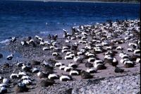 A large flock of Eiders on a beach