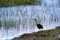 Purple Heron stands by the water