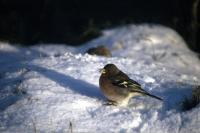 A Chaffinch in profile