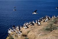 A Puffin Colony