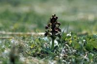 A Frog Orchid in close-up