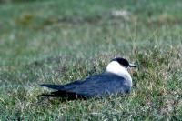 An Arctic Skua nesting on grass