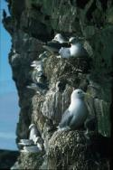 A small Kittiwake colony on the side of a cliff