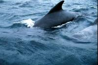 Pilot Whales come up for air
