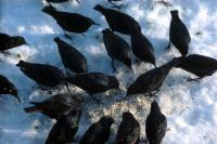 Starlings feed among the snow
