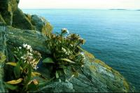 Sea Aster grows from the cracks in a cliff.