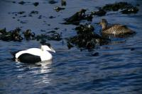 Eiders near the shore