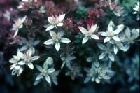 English Stonecrop flowers, both red & white