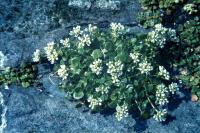 Common Scurvygrass growing over rocks