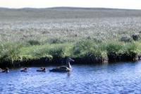 An Eider duck and five chicks on a loch