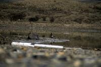 A Pale-bellied Brent Goose by a small loch