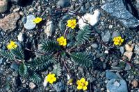 Silverweed grows on pebbled ground