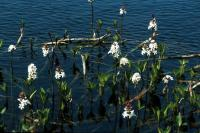 Bogbean grows at the edge of a loch.