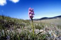 Fragrant Orchid growing on a barren hill.