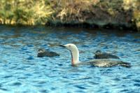 Red-throated Diver and chicks on loch