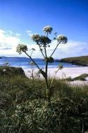 Wild Angelica at the West Sandwick beach