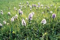 A field of Heath Spotted Orchids