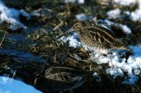 A Snipe wades amongst the melt water