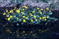 Marsh Marigolds at the waters edge