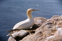 Gannet rests on the side of a cliff