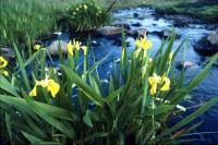 Yellow Iris beside a burn