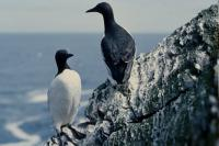 Two Guillemots on the edge of a stack