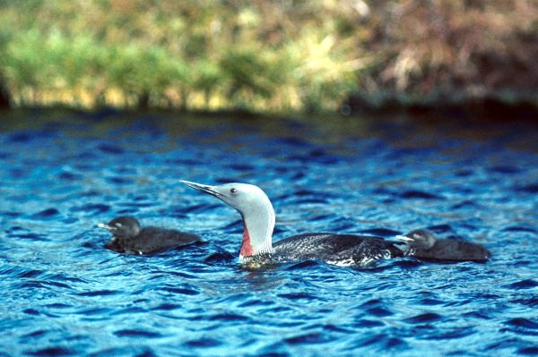 Red-throated Diver with young