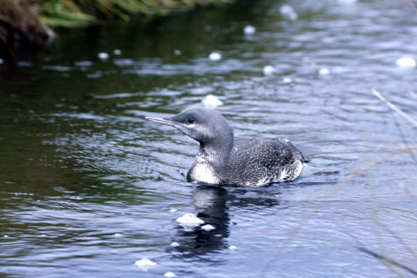 A juvenile Red-throated Diver