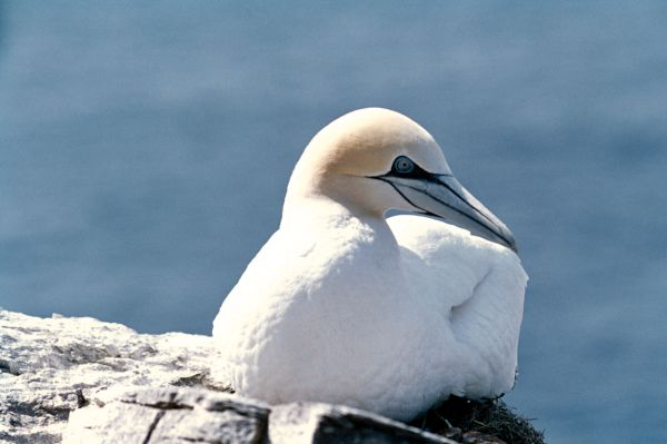 A Gannet rests upon the Cliffside