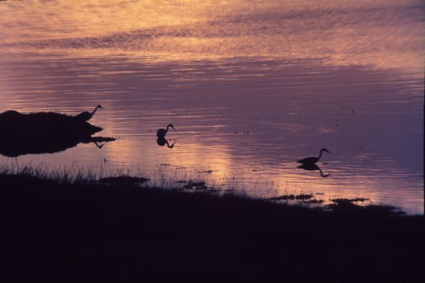 Three Grey Herons take to the loch at sunset