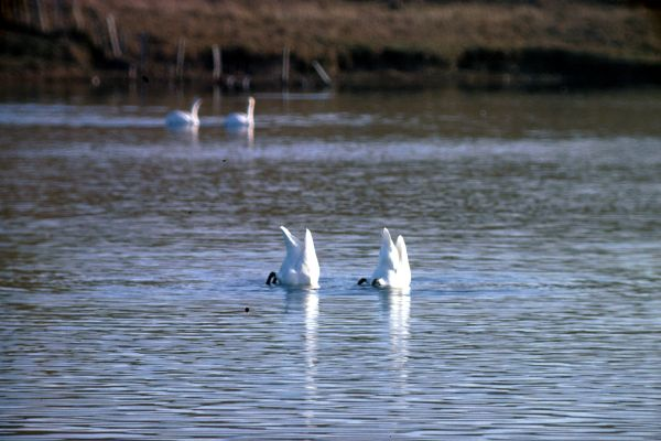 A pair of Whooper Swans search for food