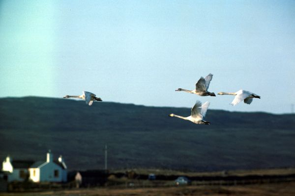 Four Whooper Swans in flight