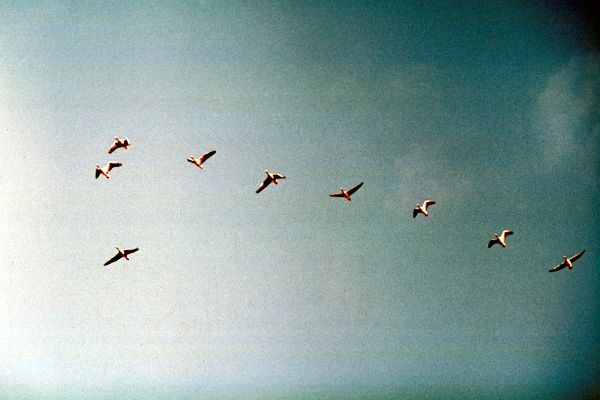 A skein of Greylag Geese in formation