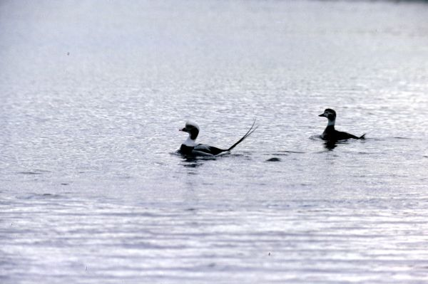A pair of Long-tailed Ducks