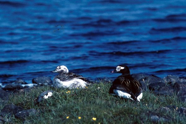 Long-tailed Ducks at Easter Loch, Unst.