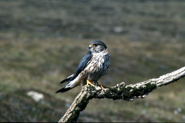 A Merlin perches on a dead branch
