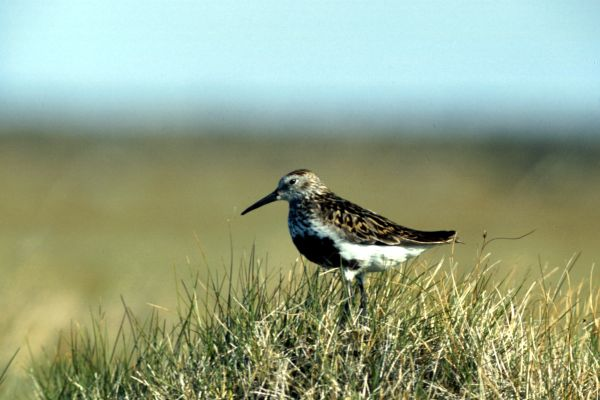 A Dunlin stands guard