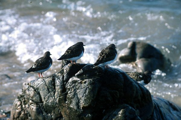 Five Turnstones stand on a rock by the sea