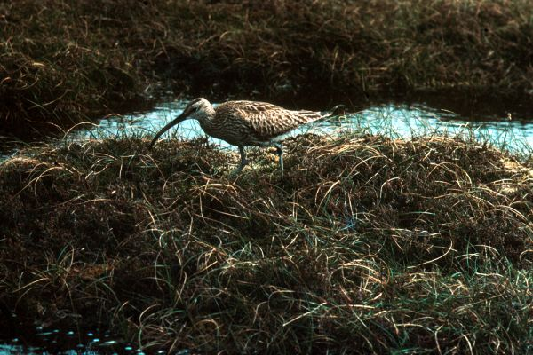Whimbrel at Fetlar.