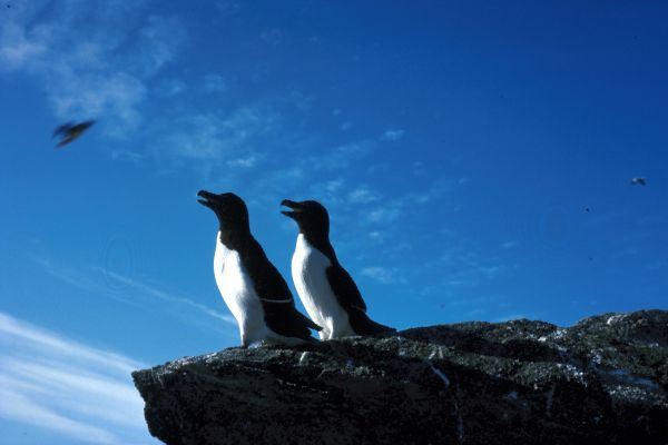 Two Razorbills stand at the edge