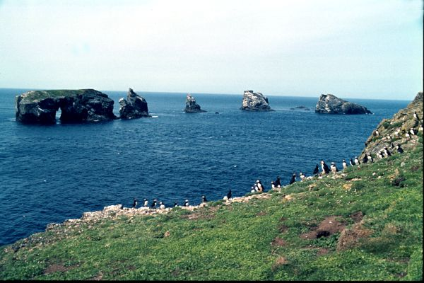 A Puffin Colony at Gruney